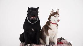 O corso e o cão de puxar trenós do bastão sentam-se próximo no fundo branco C?o amig?vel video estoque