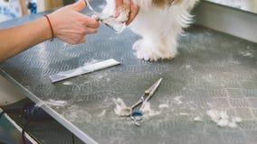 O corte de cabelo scissors os cães brancos Cão que prepara no salão de beleza da preparação Foco raso Imagem de Stock