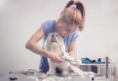 O corte do cabeleireiro scissors a pele do cabelo de cão Foto de Stock