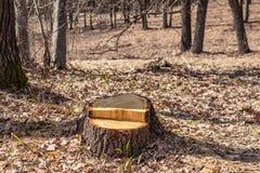 O corte do carvalho não é legal, vandalismo em um bosque do carvalho fotos de stock