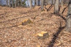 O corte do carvalho não é legal, vandalismo em um bosque do carvalho fotos de stock royalty free