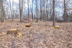 O corte do carvalho não é legal, vandalismo em um bosque do carvalho foto de stock royalty free