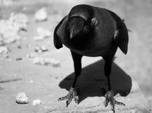 O corvo Imagem de Stock