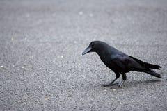 O corvo Imagem de Stock Royalty Free