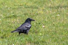 O corvo Imagens de Stock
