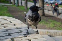 O corvo cinzento curioso é watchingin o close up do parque foto de stock royalty free