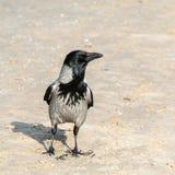 O corvo, Corvus Cornix, está na areia e olha afastado imagens de stock