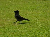 O corvo está andando Imagens de Stock