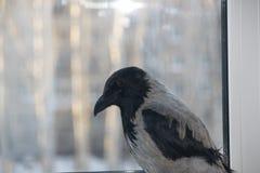 O corvo o mais esperto imagens de stock royalty free