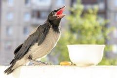 O corvo pequeno com uma boca aberta pede para comer e beber o conceito do cuidado para a prole fotografia de stock royalty free