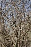 O corvo preto senta-se em um ramo de árvore Fotografia de Stock Royalty Free