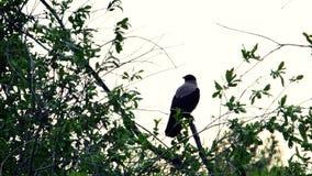 O corvo senta-se em um ramo filme