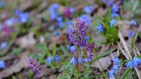 O Corydalis da flor das flores, Scilla, mola colorida floresce nas madeiras, flores floresce no parque da mola filme