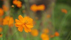O cosmos Bipannatus floresce Daisy Family Stock Footage filme