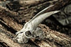 O crânio de uma cabra em logs rotting Imagem de Stock