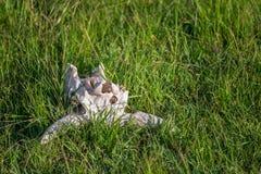 O crânio do búfalo africano encontrou na grama do parque nacional de Maasai Mara (Kenya) Foto de Stock