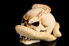 O crânio e a serpente em haloween Fotografia de Stock Royalty Free