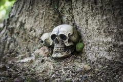 O crânio ou a fotografia humana de esqueleto Fotos de Stock