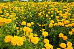 O cravo-de-defunto do jardim floresce o amarelo Imagens de Stock Royalty Free