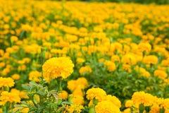 O cravo-de-defunto do jardim floresce o amarelo Fotos de Stock Royalty Free