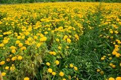 O cravo-de-defunto do jardim floresce o amarelo Fotografia de Stock Royalty Free