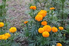 O cravo-de-defunto grande amarelo bonito bengali floresce no jardim imagem de stock royalty free