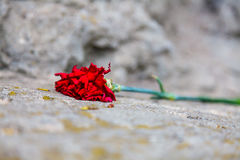 O cravo vermelho Fotos de Stock Royalty Free
