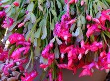 O crenatum de Epiphyllum ? um epiphyte suculento, igualmente conhecido como um cacto de orqu?dea devido a suas flores coloridas imagens de stock