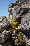O crescimento de flor amarelo altamente nas montanhas fotos de stock royalty free