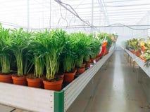 O crescimento de flores decorativo cultivado em uma folha plactic comercial cobriu a estufa da horticultura foto de stock royalty free