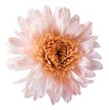 o crisântemo Branco-alaranjado da flor, flor do jardim, branco isolou o fundo com trajeto de grampeamento closeup Nenhumas sombra Imagem de Stock