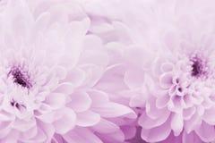 O crisântemo floresce para o fundo, textura floral bonita, tonificação retro, cor cor-de-rosa Foto de Stock Royalty Free