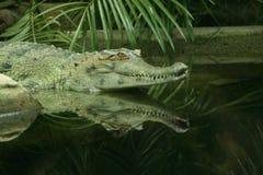 O crocodilo Imagem de Stock