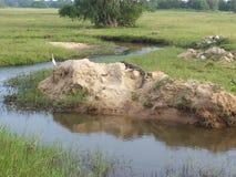 O crocodilo imagens de stock
