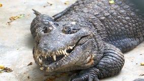 O crocodilo com uma boca aberta encontra-se na terra no jardim zoológico tailândia Ásia vídeos de arquivo