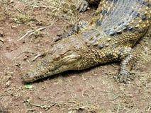 O crocodilo do Nilo (niloticus do Crocodylus) fecha-se acima Imagens de Stock