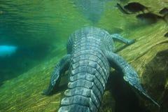O crocodilo do sono Imagens de Stock Royalty Free