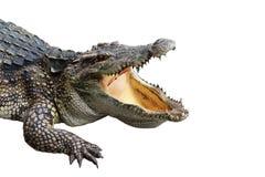 O crocodilo em branco-isola-se Fotografia de Stock