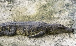 O crocodilo encontra-se no concreto fotografia de stock