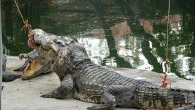 O crocodilo está atormentando sua rapina Um crocodilo está comendo a carne em uma corda Predador no captiveiro filme