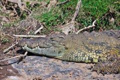 O crocodilo está no banco de rio Imagens de Stock Royalty Free