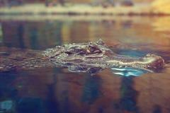 O crocodilo flutua na superfície da água Imagens de Stock Royalty Free