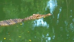 O crocodilo nada na água pantanoso verde Muddy Swampy River tailândia Ásia filme