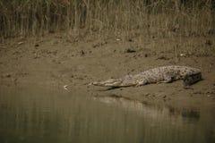 O crocodilo salgado gigantesco da água travou nos manguezais de Sundarbans fotografia de stock royalty free