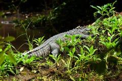 O crocodilo Siamese que toma a uma sesta no fazer logon um dia quente, engra?ado o crocodilo com uma folha ca?da em sua cabe?a imagem de stock royalty free