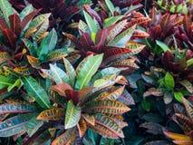O Croton colorido sae do fundo Fotos de Stock