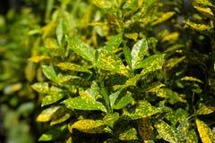 O Croton colorido sae do fundo Planta do Croton Folhas do Croton CTOC Imagens de Stock