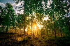 O cruzamento do sol uma floresta do eucalipto imagem de stock