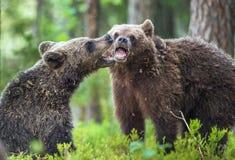 O Cubs de ursos de Brown & de x28; Ursus Arctos Arctos& x29; playfully lutando Imagem de Stock Royalty Free