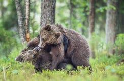 O Cubs de ursos de Brown & de x28; Ursus Arctos Arctos& x29; playfully lutando Imagens de Stock
